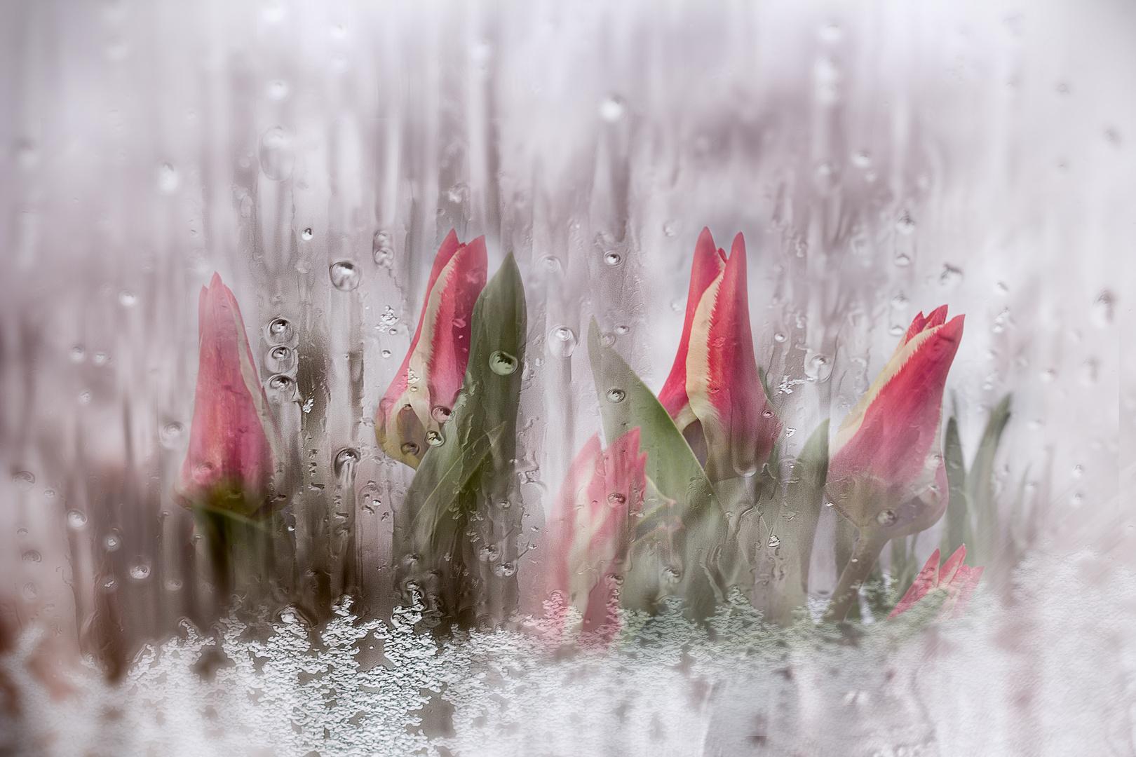 Frozen Tulip Dream