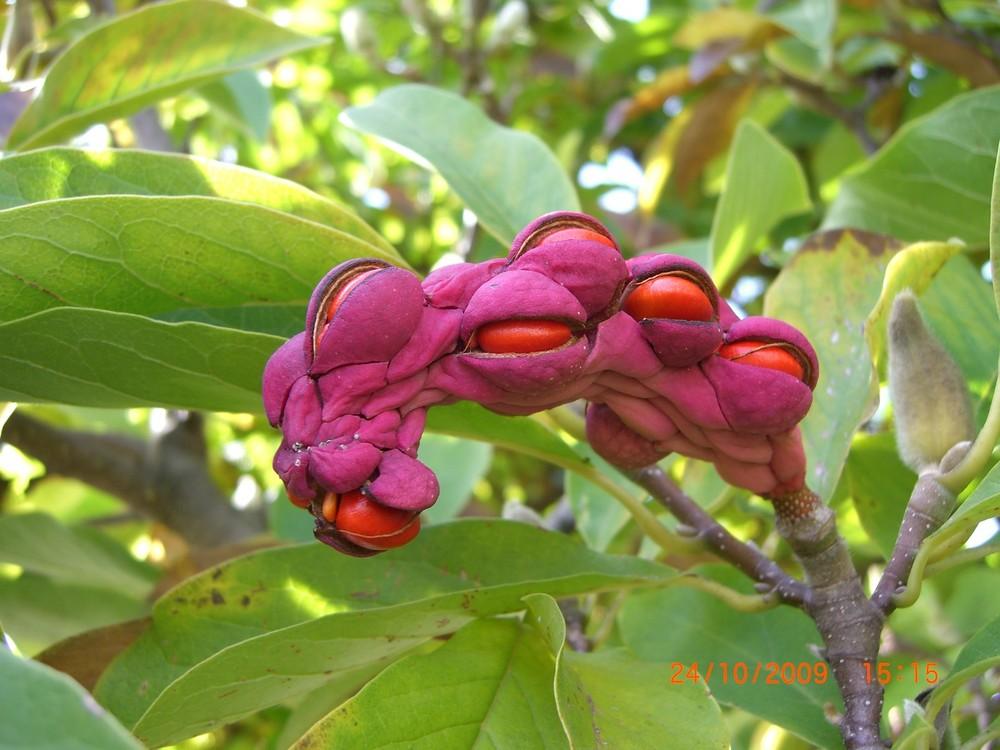 frucht der magnolie foto bild pflanzen pilze. Black Bedroom Furniture Sets. Home Design Ideas