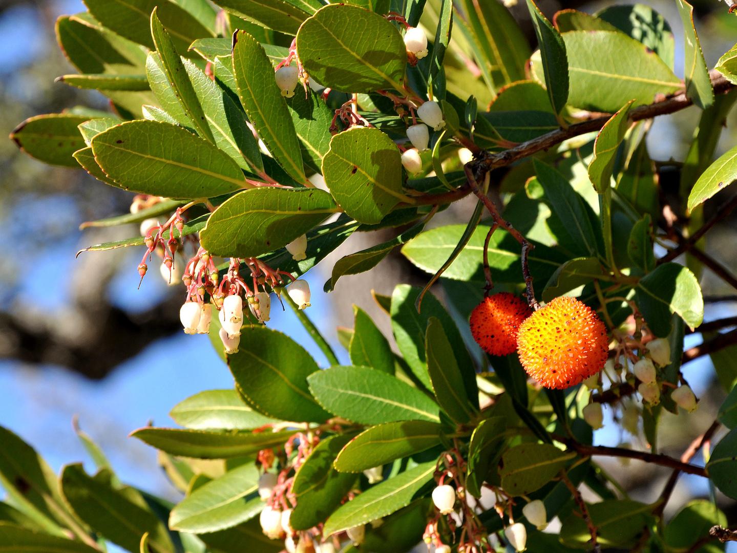 """Frucht und Blüte des Erdbeerbaumes """"Medronho"""""""