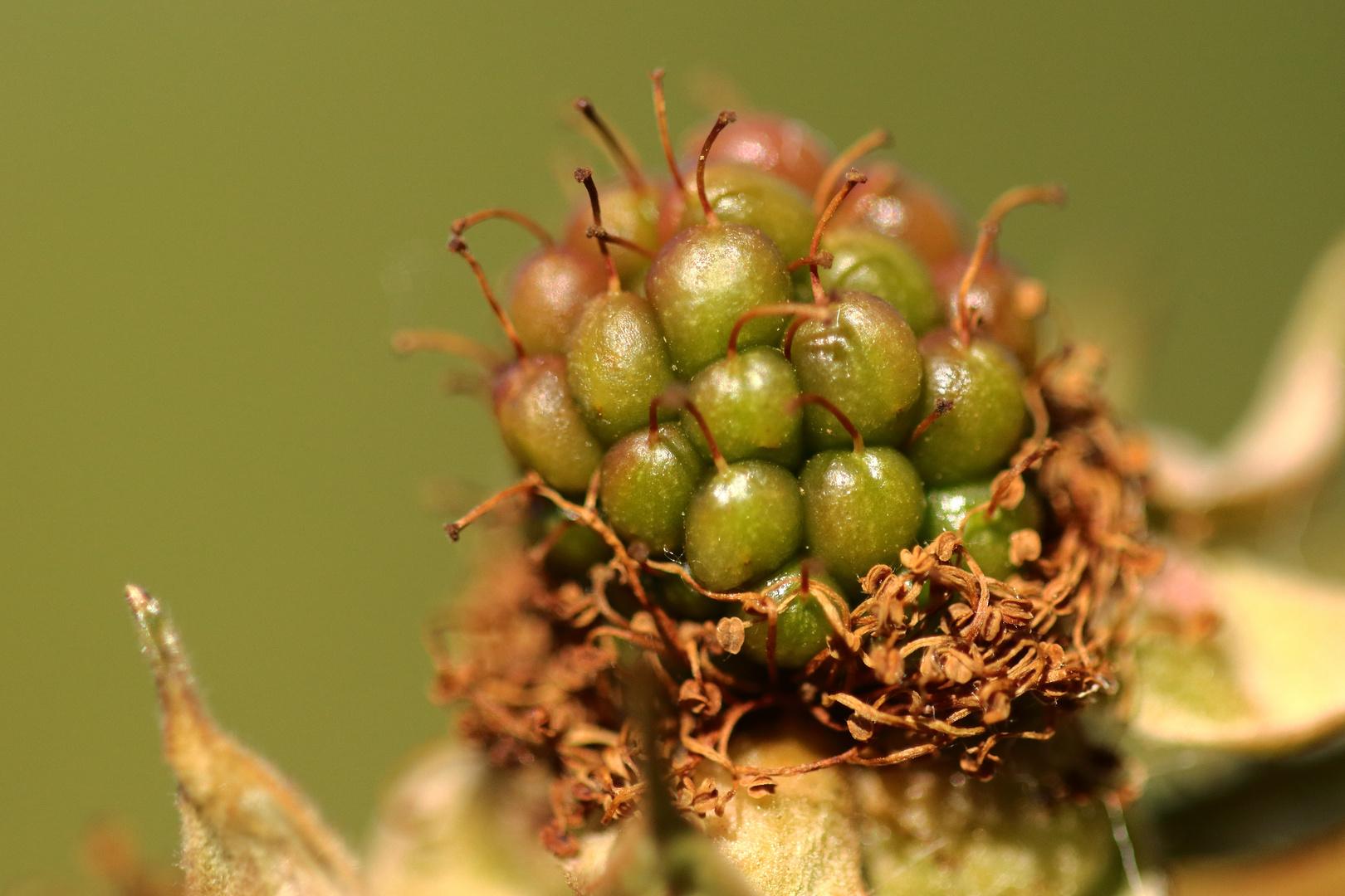 Fruchtansatz der Brombeere