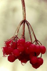 Fruchteis - Eisfrucht