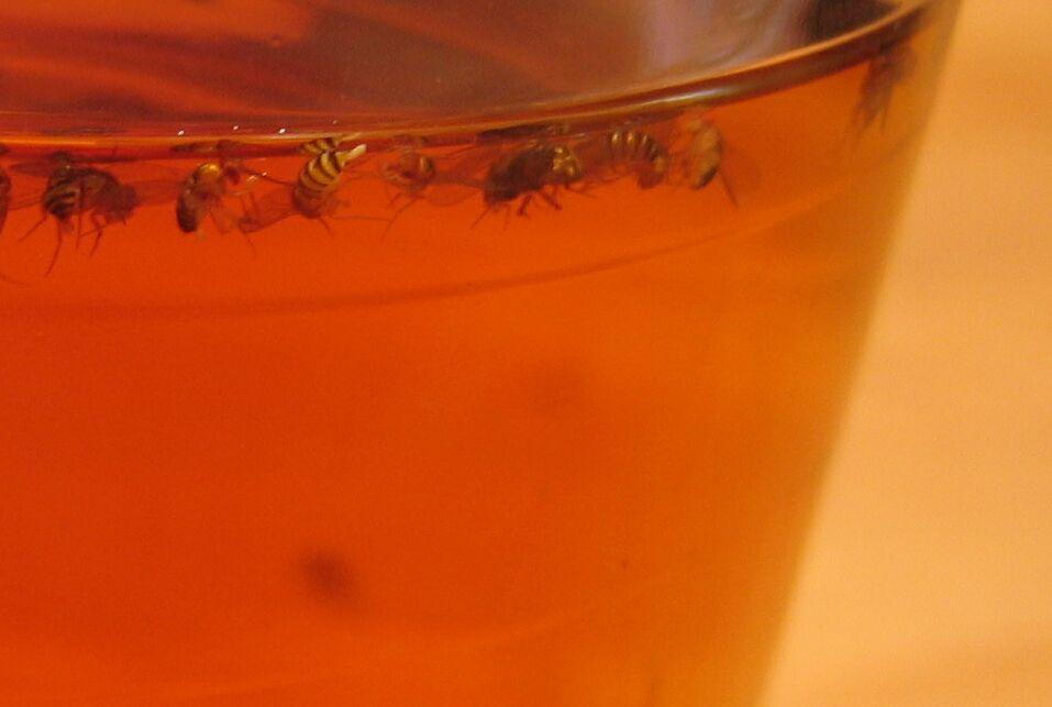 fruchtfliegenfalle teil 2