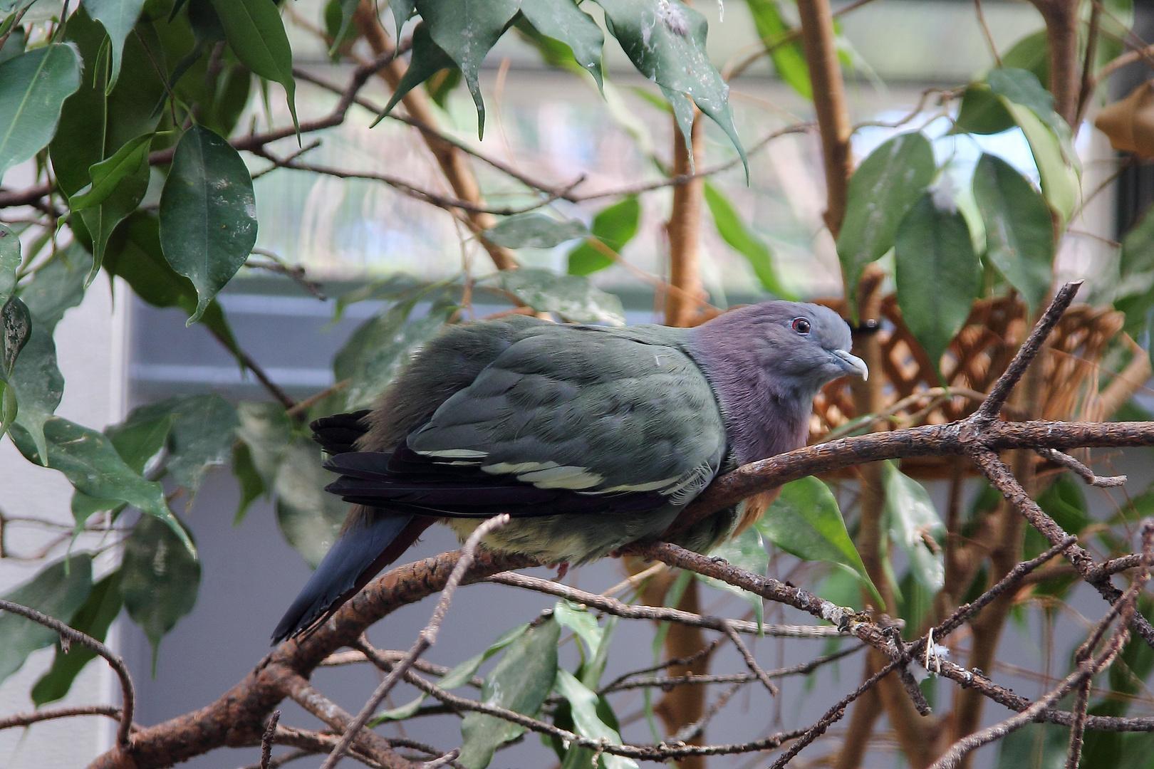 Fruchtige Taube