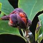 Fruchtstände der Magnolie
