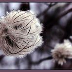 Fruchtstand einer Clematis