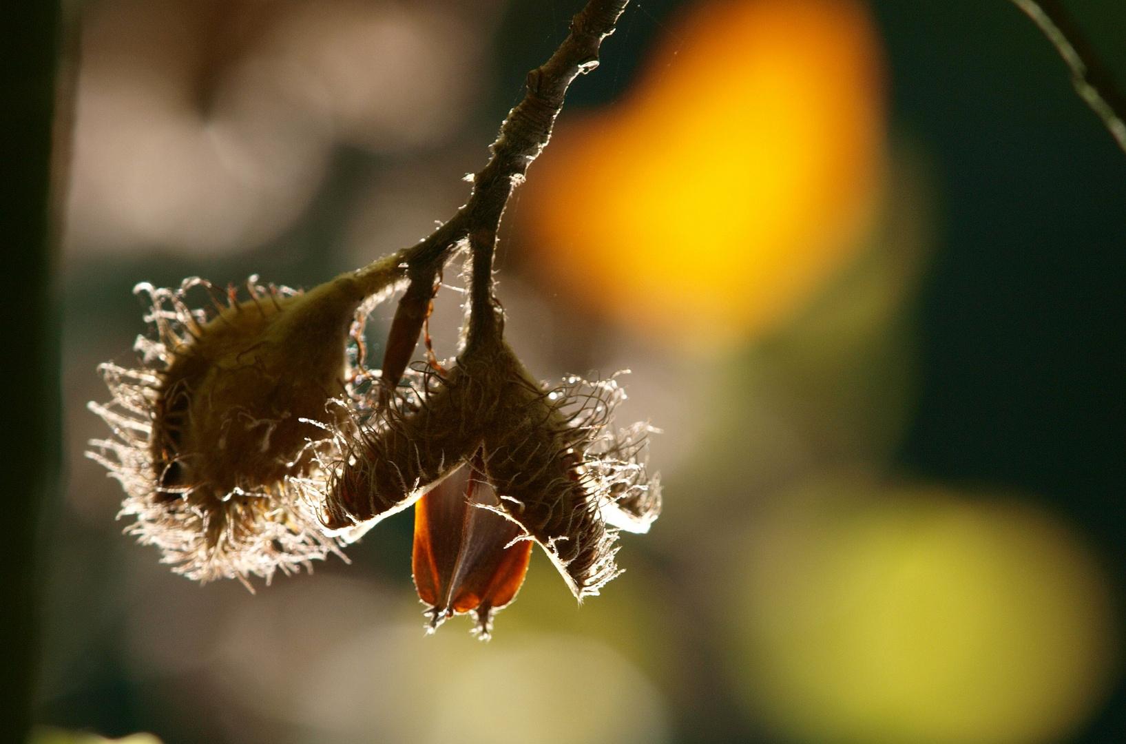 Fruchtstand Rotbuche (Fagus sylvatica)