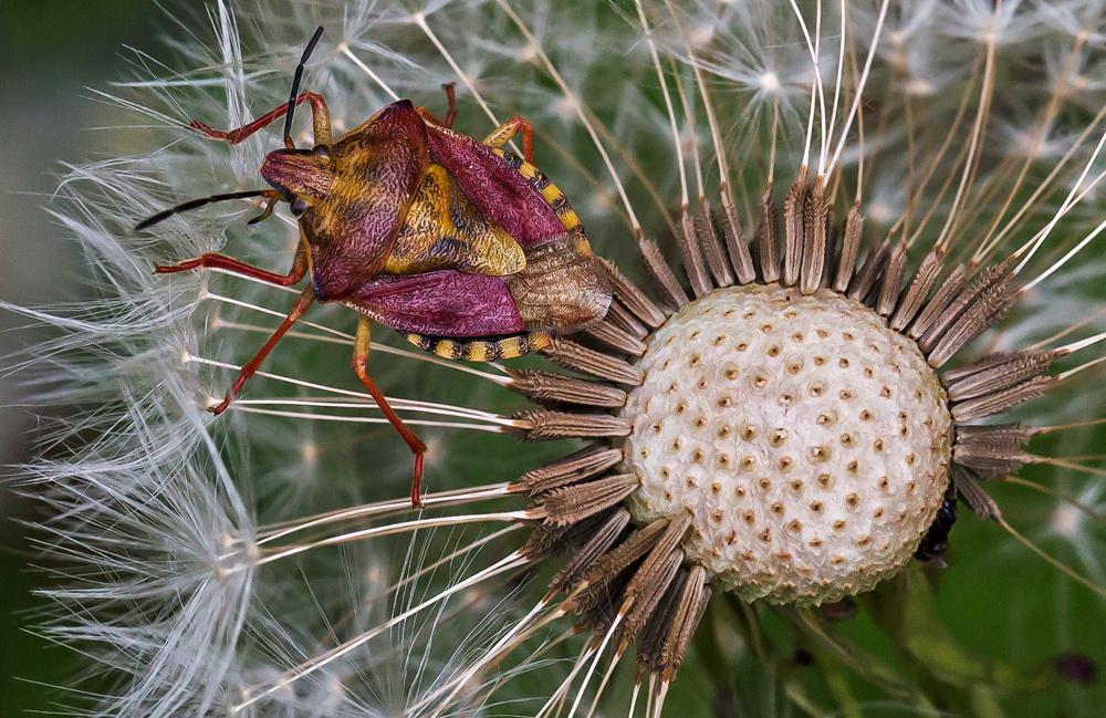 Fruchtwanze auf einer Pusteblume