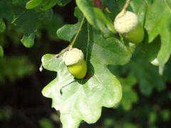 Früchte der Eiche...