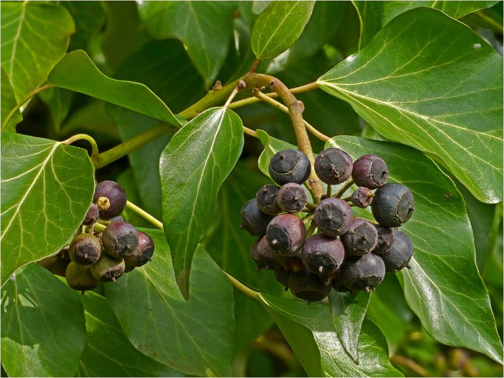 Früchte Des Efeu Foto & Bild