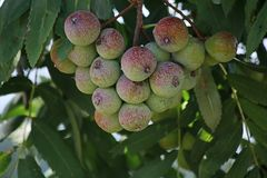Früchte Speierling
