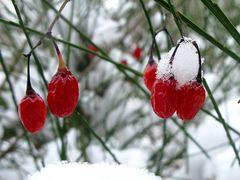 Früchte vom Schneeball
