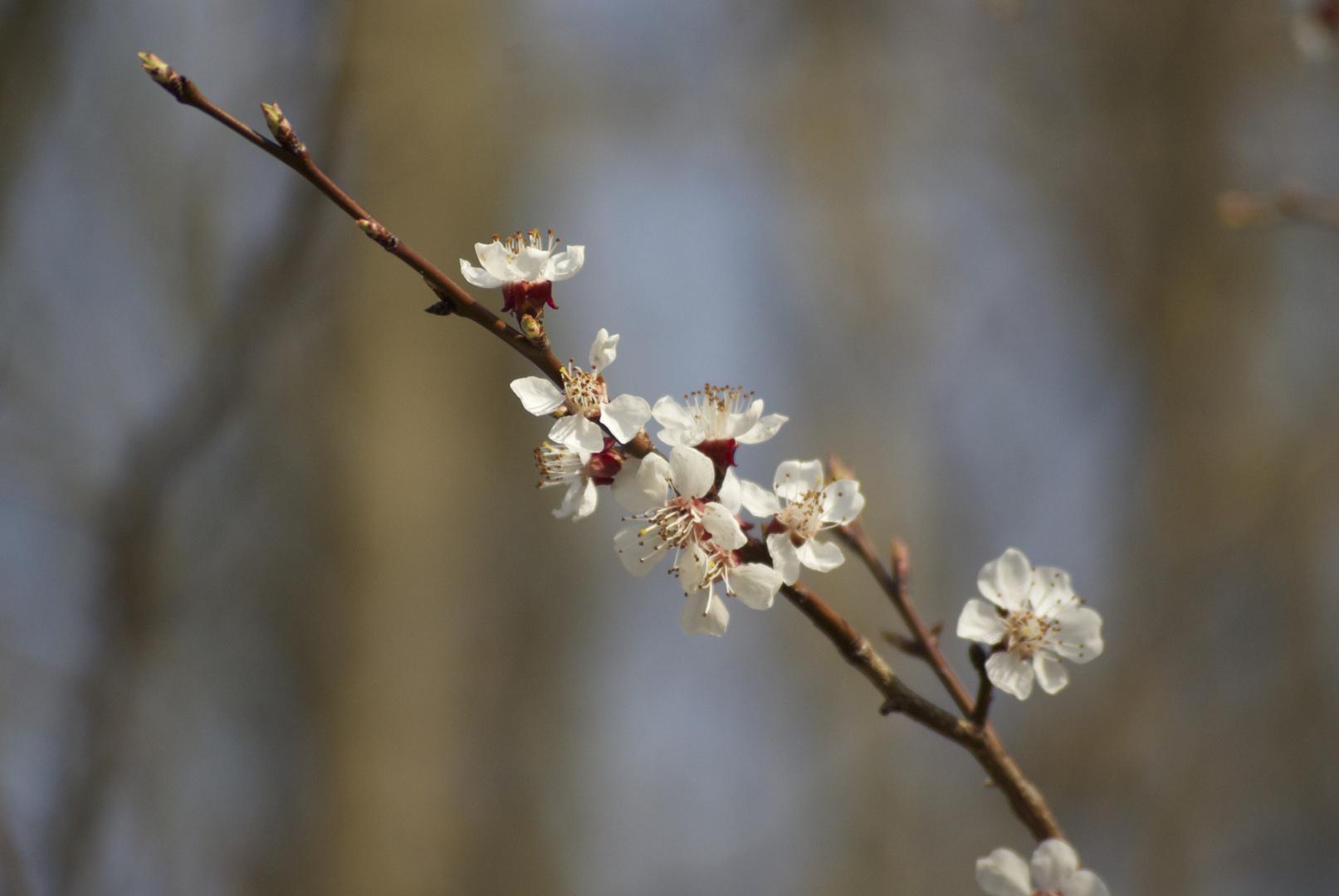 Früh Blühend 1
