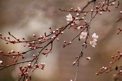 Früh blühender Baum