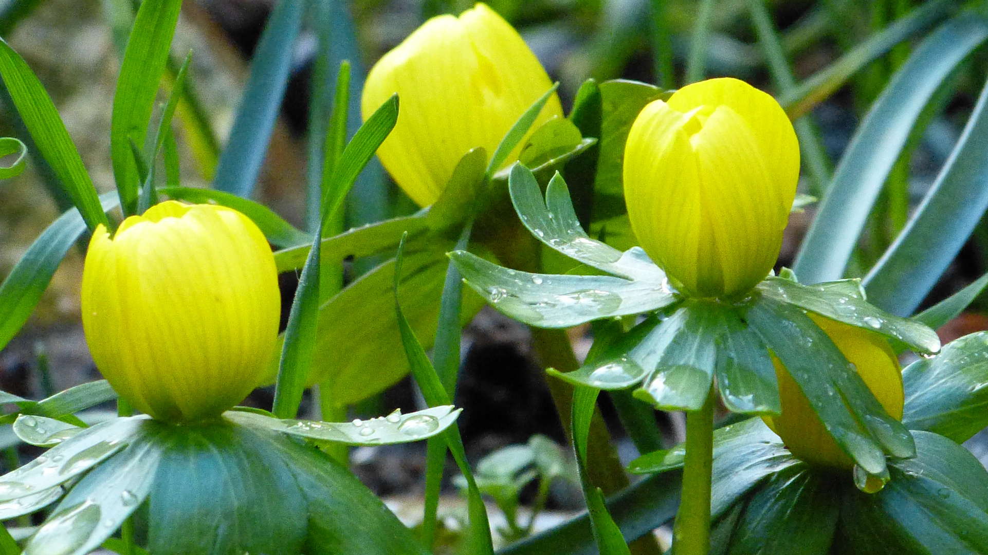 Fruhbluher 2 Foto Bild Pflanzen Pilze Flechten Pflanzen Im