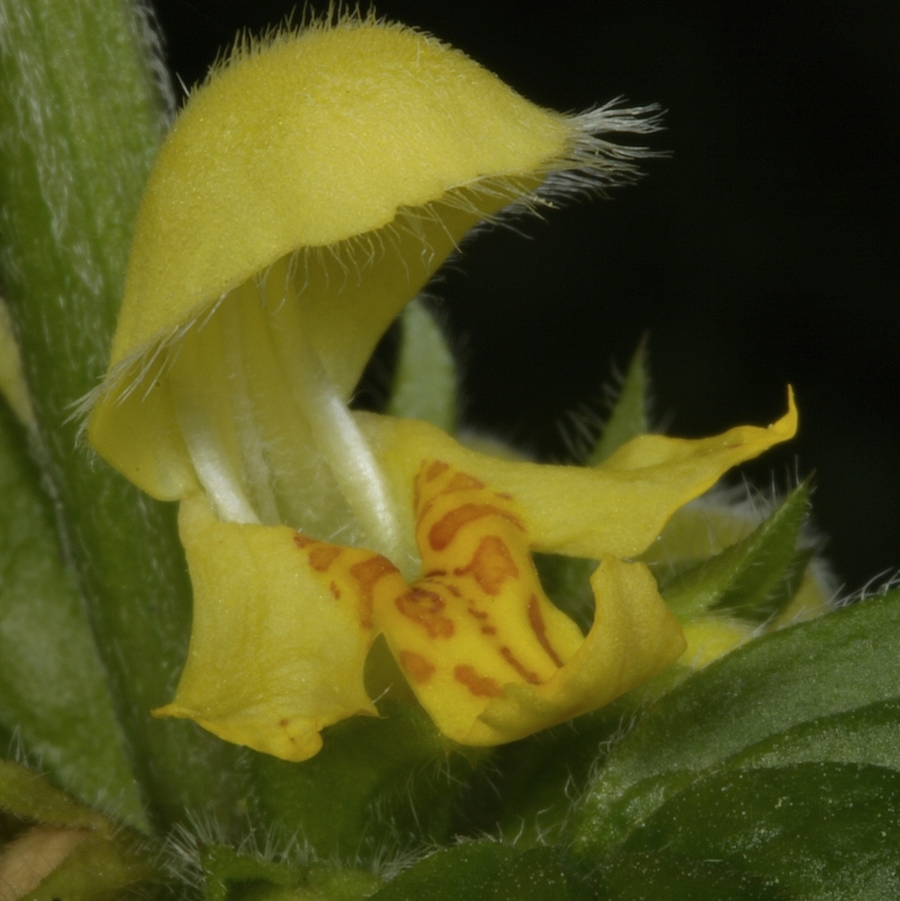 Frühblüher IV Goldnessel - Lamium galeobdolon