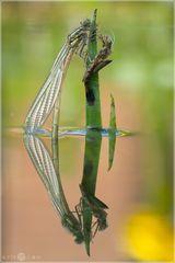 Frühe Adonisjungfer - Pyrrhosoma nymphula