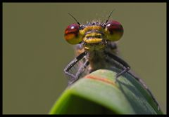 Frühe Adonislibelle (Pyrrhosoma nymphula)-