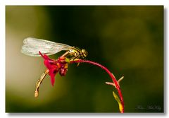 Frühe Adonislibelle – Pyrrhosoma nymphula