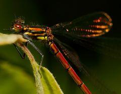 Frühe Adonislibelle (Pyrrhosoma nymphula) (II)