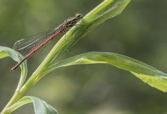 Frühe Adonislibelle Pyrrhosoma nymphula Männchen