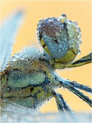 Frühe Heidelibelle - Sympetrum fonscolombii