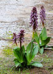 Frühe Orchidee