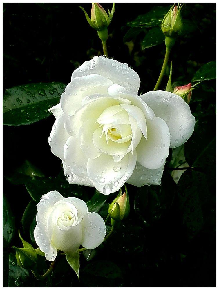 Frühe Rose 2
