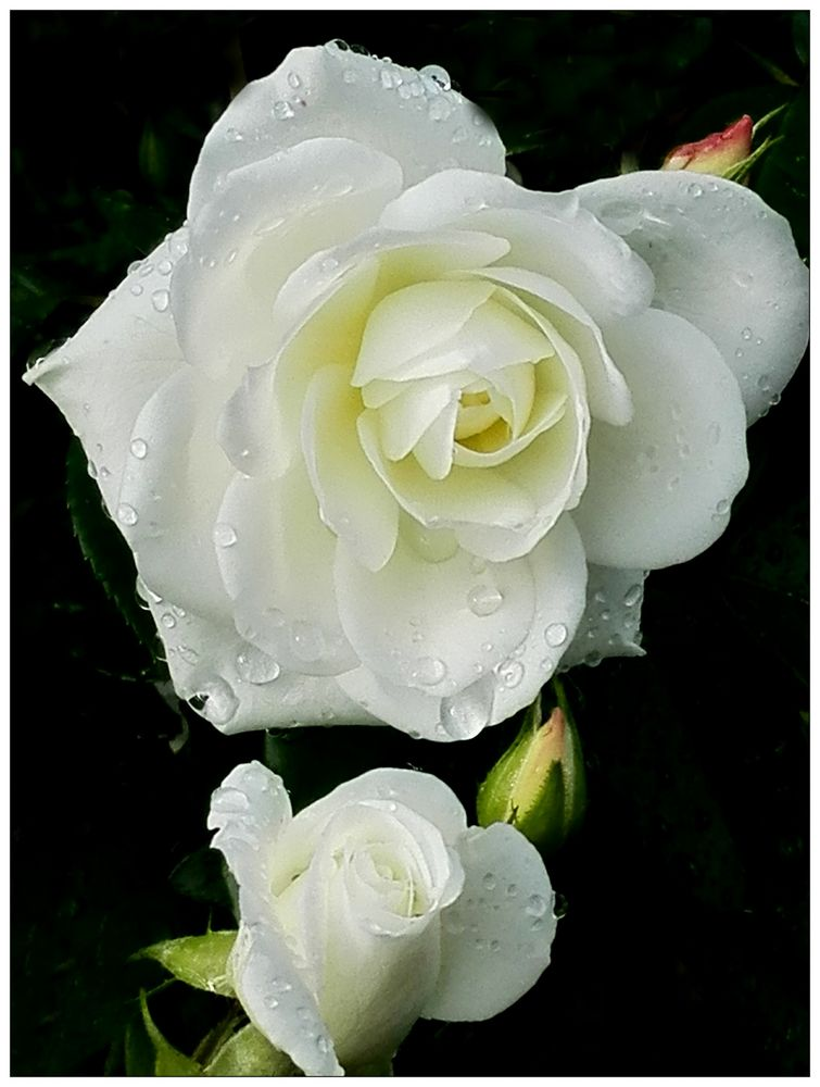 Frühe Rose