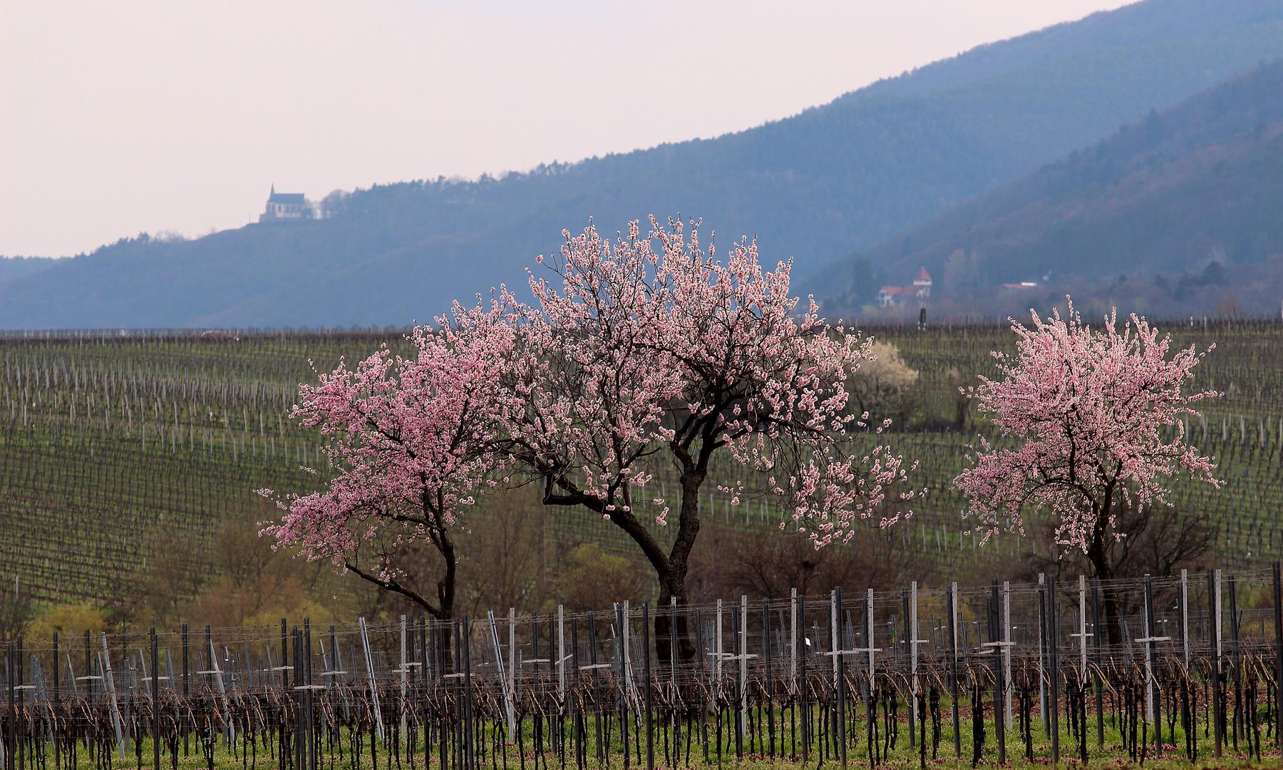 Frühlig in den Weinbergen bei St. Martin