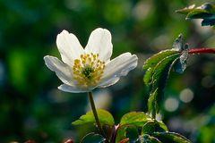 Frühling,-Anemone