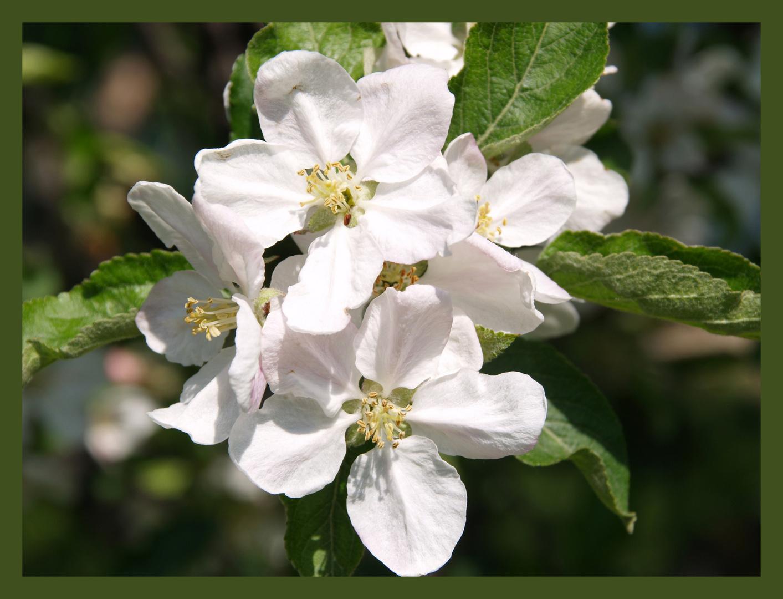 Frühling - apfelbaum-blüten und da fallt mir ein - frühling lasst sein buntes band