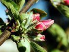 Frühling - Apfelblüte