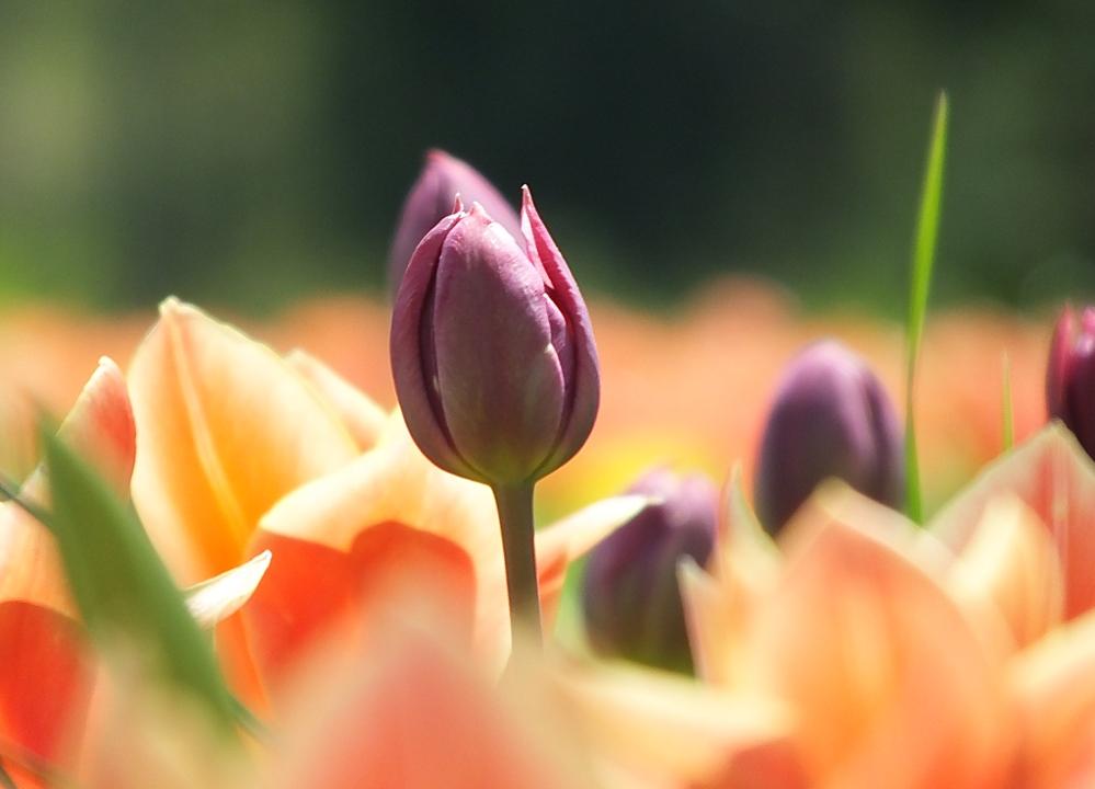 Frühling auf der Mainau - Tulpenmeer