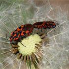 Frühling bei den Knappen (Spilostethus saxatilis)...