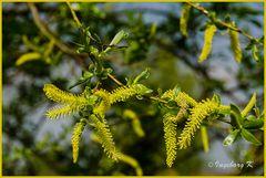 Frühling - blühende Weidenkätzchen