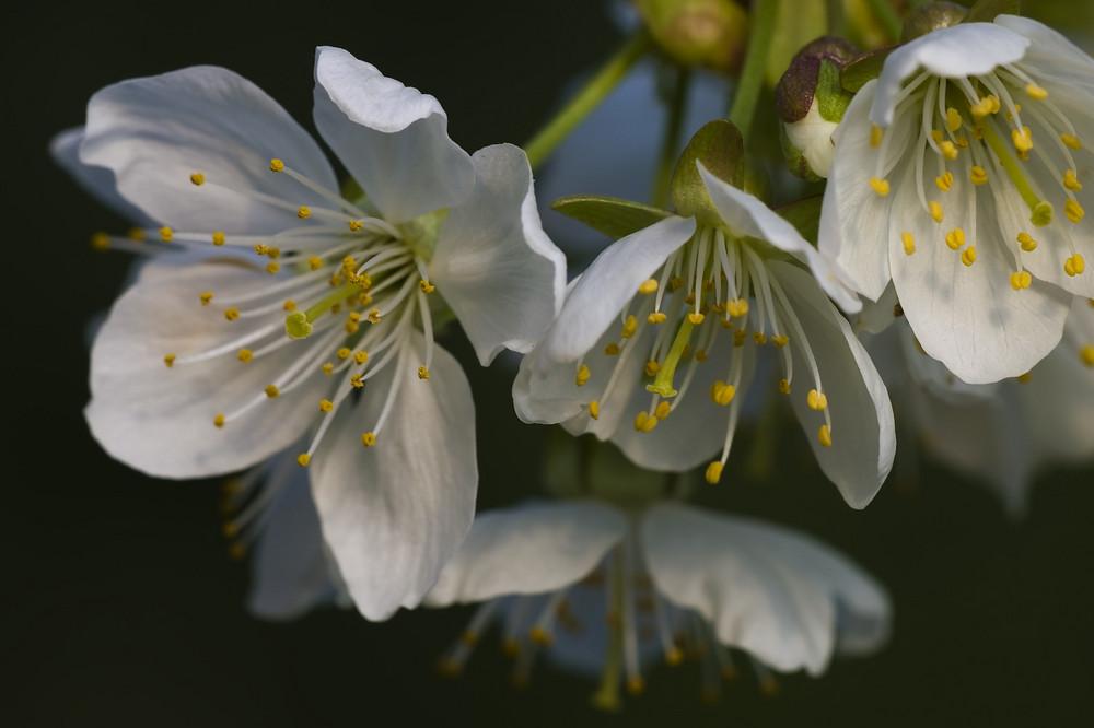 Frühling - endlich Frühling?! Kirschblüten als Frühlingsboten