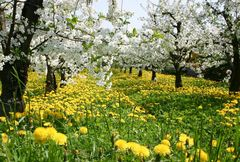 Frühling im alten Land