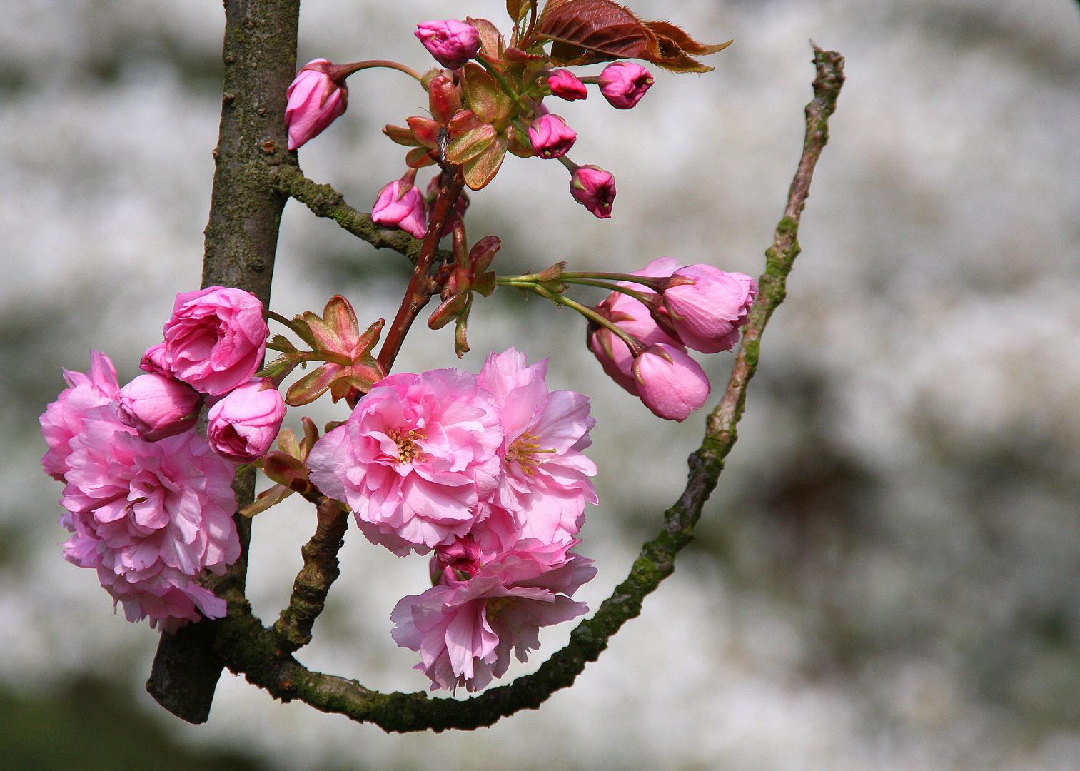 Frühling im Japanischen Garten...