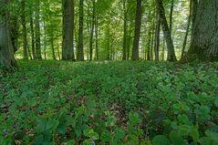 Frühling im Korker Wald