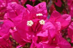 Frühling in Äypten - Blüte aus der Nähe