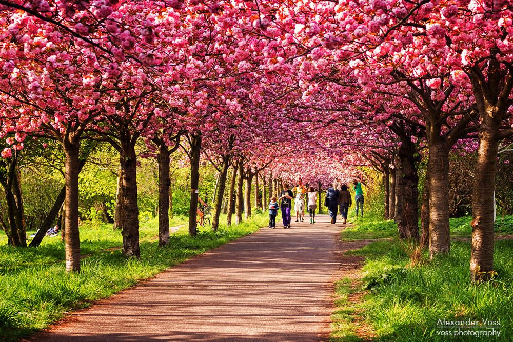 Frühling in Berlin / Kirschblüte Foto & Bild | deutschland