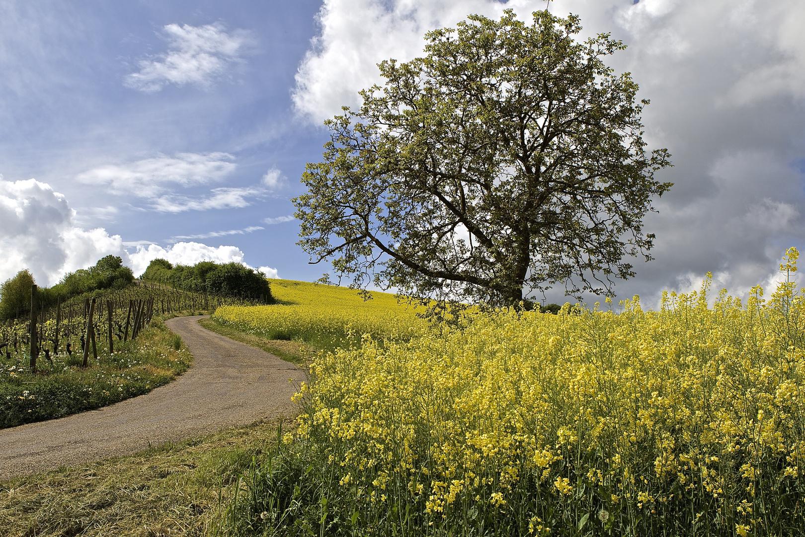 Frühling in den Weinbergen