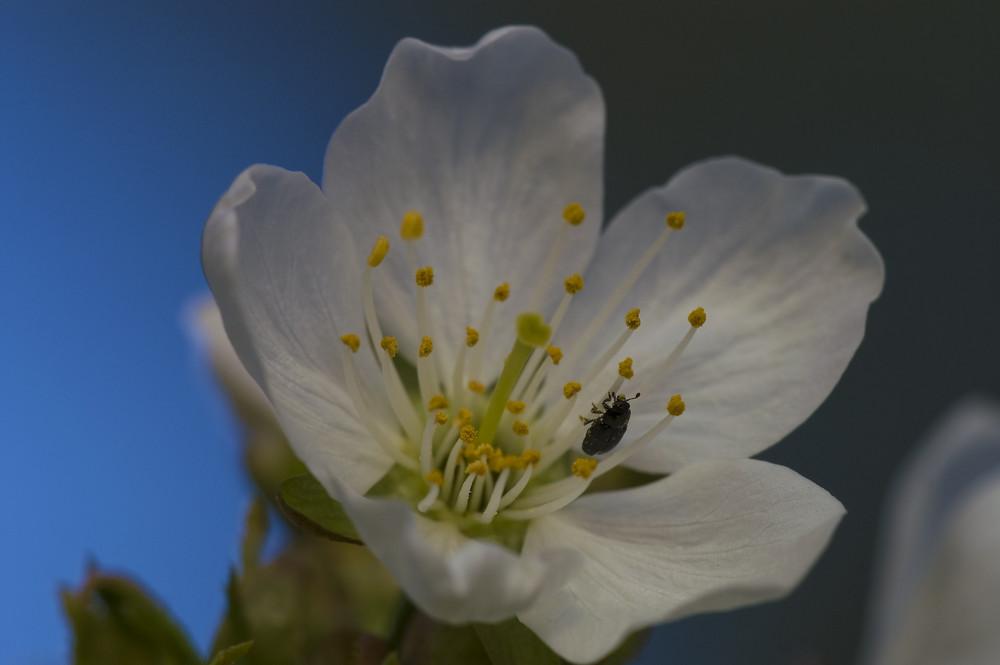 Frühling - Kirschblüte mit Käfer