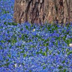 Frühling läßt sein blaues Band - Blausternchen (Scilla sibirica) im Botanischen Garten in Karlsruhe