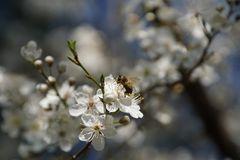 Frühling oder Biene auf Schlehenblüte