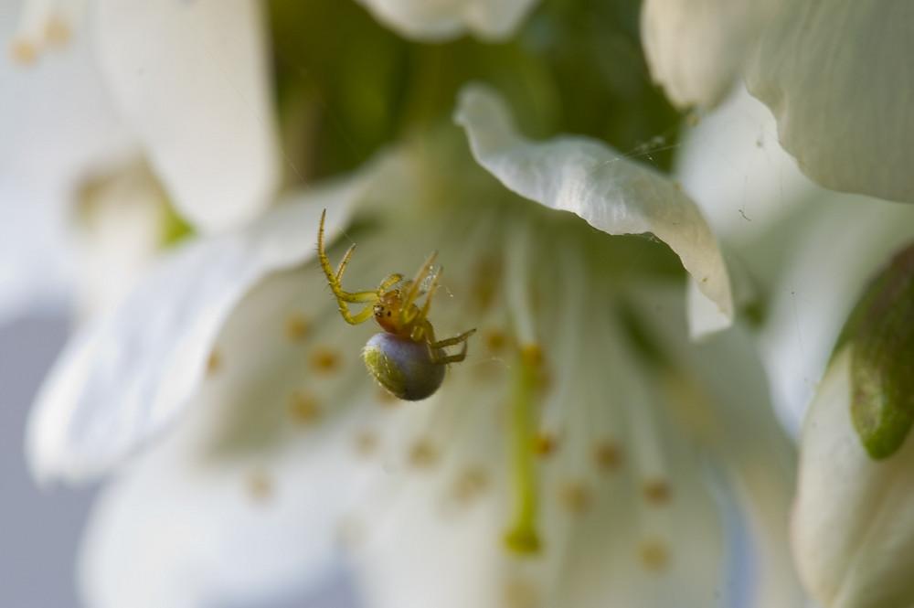 Frühling - Spinne im Kirschbaum