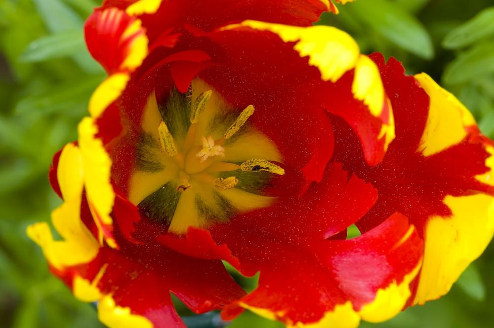 Frühling - Tulpenblüte in Gelb und Rot 4