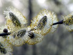 Frühling - Weidenkätzchen