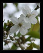 Frühlingblühten