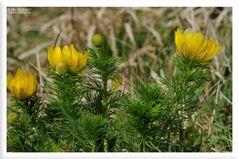 - Frühlings-Adonisröschen  2 - ( Adonis vernalis )